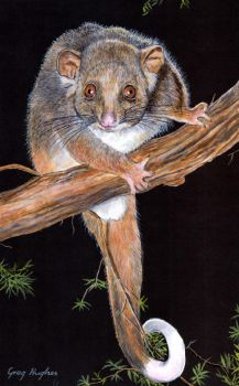 Ringtail Possum by Arrowfire