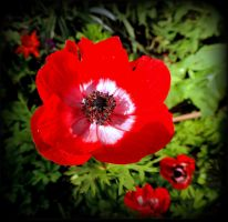 Anemone in Bloom by JocelyneR