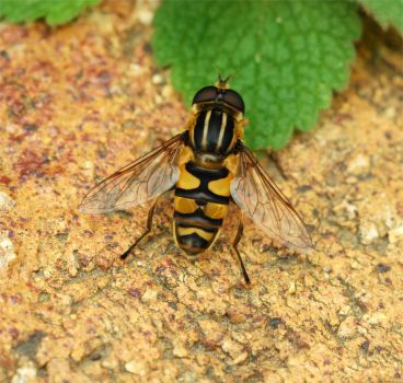 Hover Fly by based-on-fact