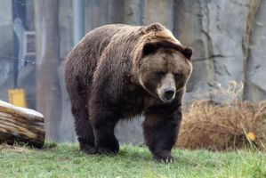 Brown Bear 001 by MonsterBrand-stock
