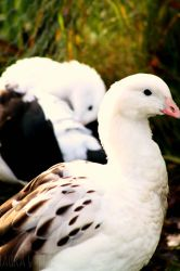 Andean Goose by sunshine-b