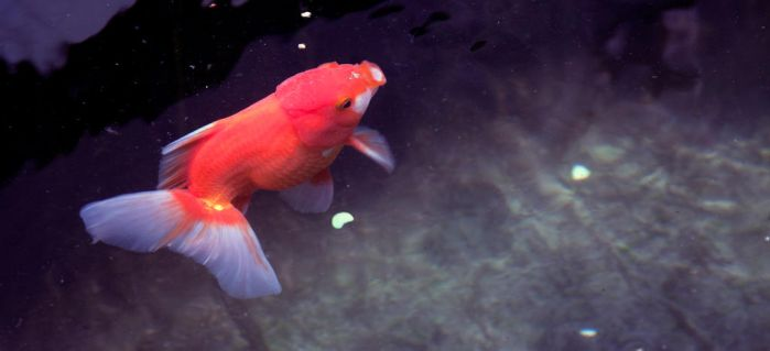 Red Oranda Goldfish by PhucTran