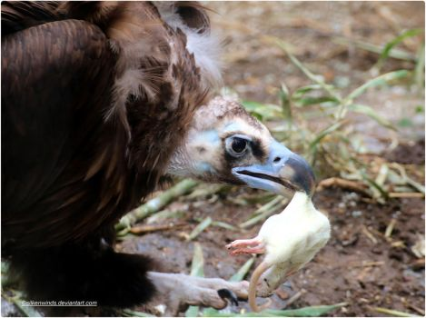 015- Cinereous Vulture with prey by SilkenWinds