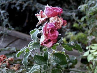 our first strong frost by photography-meg