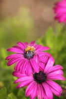 Bee working on Osteospermum - African Daisy by Cairngorm747