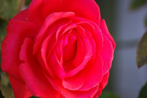 Red Rose 03 by Sageous
