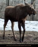 Moose 4 by SalsolaStock