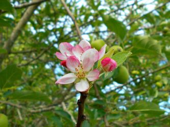 Apple Blossoms by Calypso1977