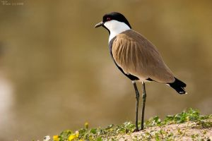 Spur winged plover on shore by geostant