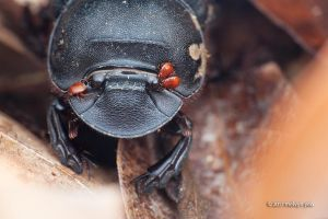 Dung Beetle with mites by melvynyeo