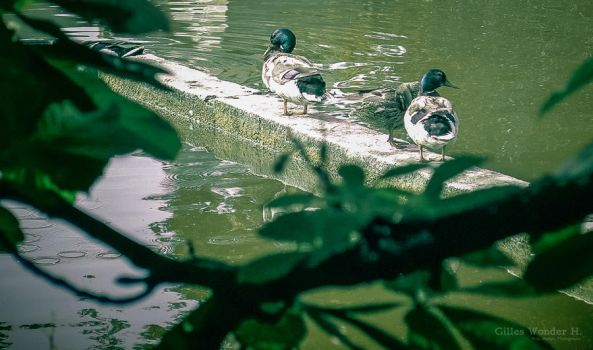 Ducks by unicolored