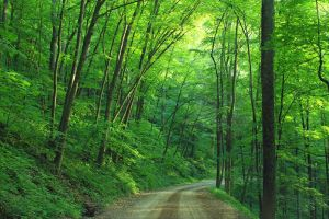 Dirt Road in Green Forest Landscape by ROGUE-RATTLESNAKE