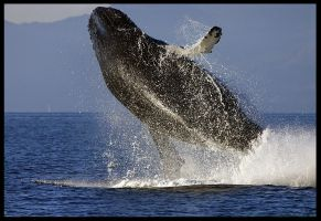 Breaching Humpback by Curos