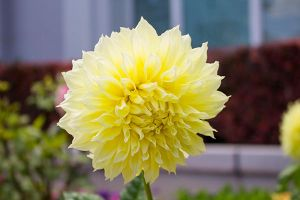 Yellow Dahlia by artisticimposter