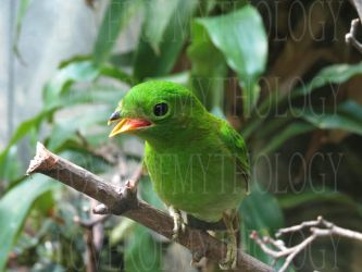 Female Lesser Green Broadbill LPZ by loverofmythology