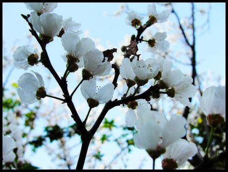 Plum Blossom by mosekh