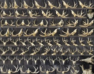 Different Angles of a Deer Skull by AshenCreative