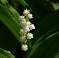 Lilies of The Valley by vikingjon