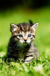 Kitten with stripes by blackmaster111