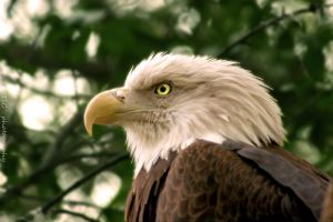 America's bird by TlCphotography730