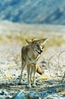 Wiley Coyote by kmwatts