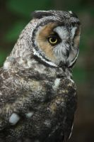Long Eared Owl 3 by EdgedFeather