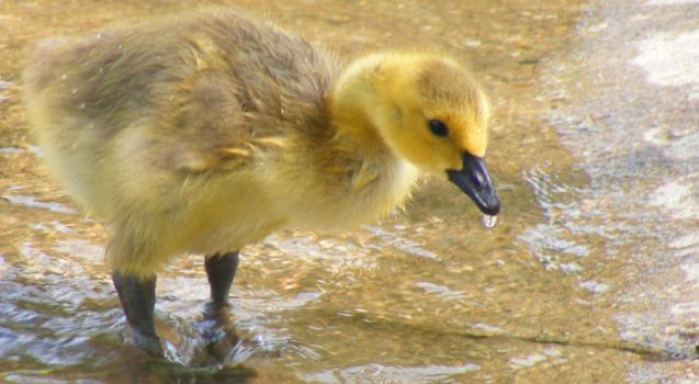 Ducky by ToryHartley