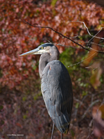 Heron in Autumn by Mogrianne