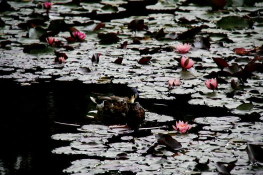 encircled by water lilies by steeerne