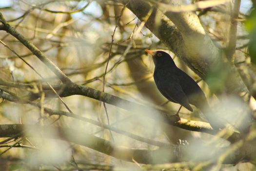 Blackbird in Spring by akio-stock