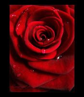 Rose - Red by JArdley