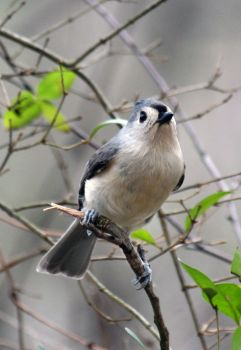 Tufted Titmouse by cake-fiend