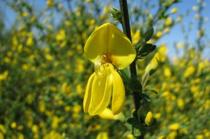 Common Broom Flower by dracontes