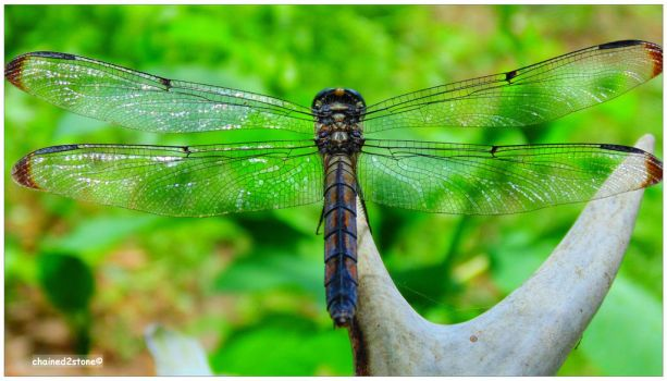 Dragonfly no. 4 by chained2stone