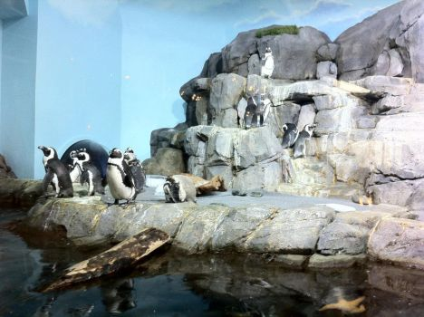 Monterrey Bay Aquarium Trip-Penguins by ZifoG