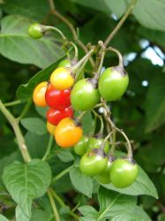 Poison Nightshade Berries 2 by FantasyStock