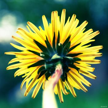 ..Dandelion.. by gomit