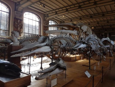 Some whale skeletons by paleosir