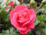 close up on Rose by blackroselover