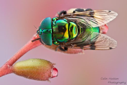 Syrphid fly - Ornidia obesa by ColinHuttonPhoto