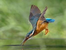 No fish is safe - common kingfisher by Jamie-MacArthur