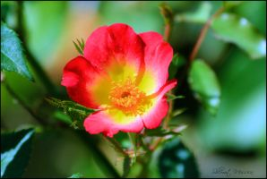 A rose for Donna by ShlomitMessica