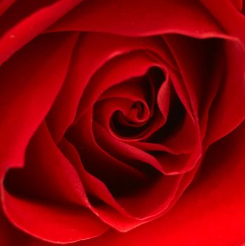Red Rose 2 by sugendran
