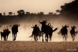 Blue wildebeest approaching by Kbulder