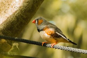 Zebra Finch-0212 by Christina-Phillips