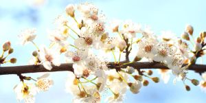 Blossoms. by wfpronge