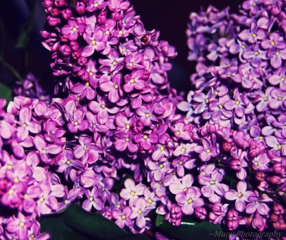 Lilac by Muov