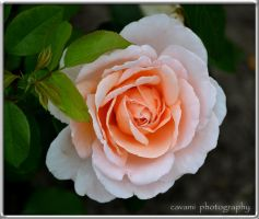 Rose Andre le Notre by CaryAndFrankArts