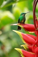 Another Green-crowned Brilliant by CBasco