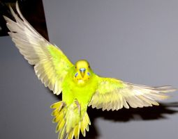 Budgie in flight 18 by greencheek